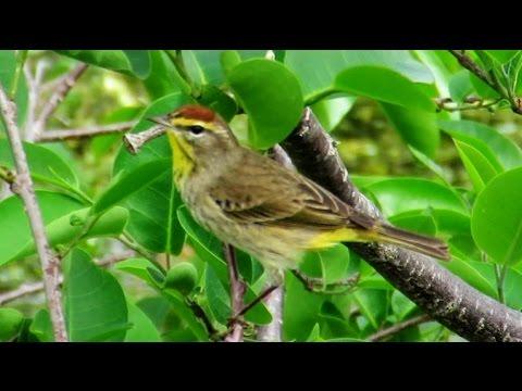 Eastern Palm Warbler