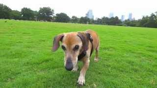 Martin Has A Good Day In The Park - Senior Dachshund