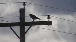Calling Peregrine Falcon-Sierra Vista AZ, October 4, 2009
