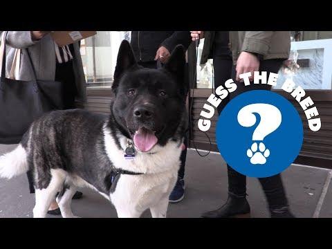 Guess the Breed - Akita