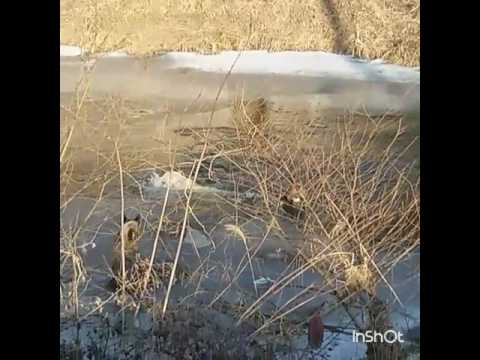 Pack of Dogs chase down and kill a deer