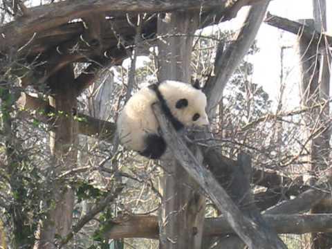 Pandabub Fu Bao Panda cub Schönbrunn Vienna
