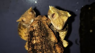 У гекконов бананоедов новоселье. Дракончики довольны