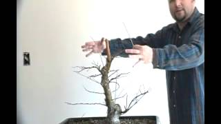 Bonsai styling japanese maple coral bark pt 7