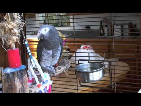 Roscoe  - Timneh African Grey Parrot, Talking