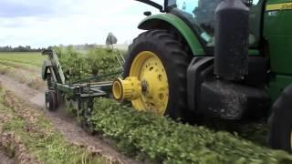 Harvesting Peanuts