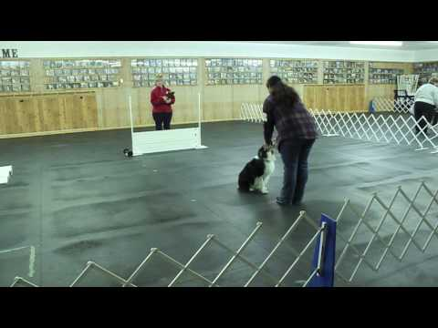 Australian Shepherd AKC Open Obedience