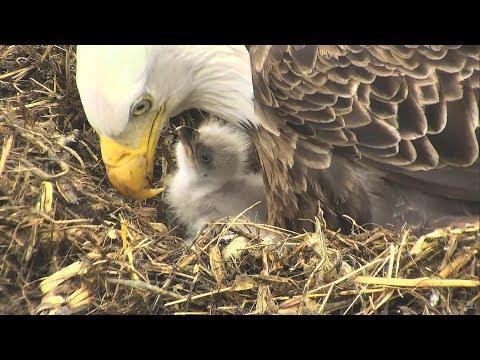 Bald Eagle Cam - Decorah North Nest   A tribute to DN7 & DN8