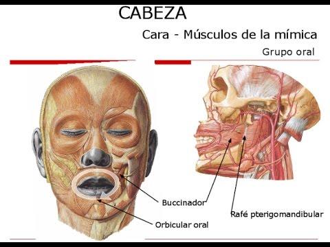 Músculos de la Cabeza - 2017 / Netter / Anatomía Humana - YouTube