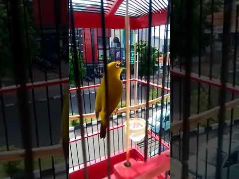 Edan Suara Burung Pleci Merapi Super Gacor
