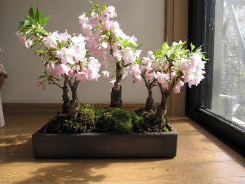 20 Inspiration Dwarf Cherry Tree Bonsai Pink Wool