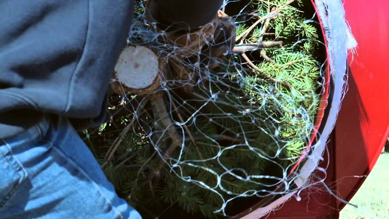 tying up a tree at middleburg christmas tree farm in virginia - Middleburg Christmas Tree Farm