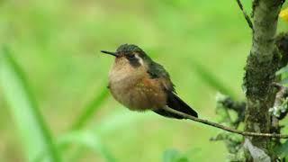Birds in the Rio Blanco Reserve/ Reserva Ecologica Rio Blanco, Manizales, Colombia