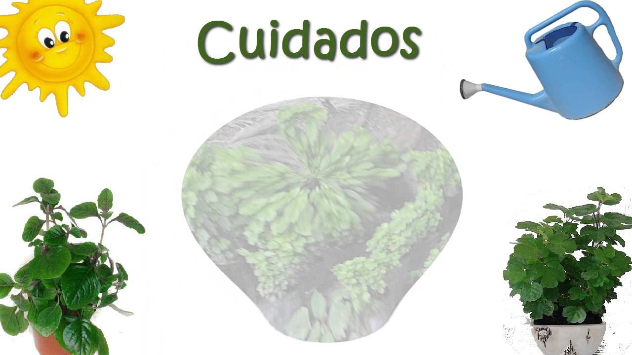 Planta millonaria planta de dinero d lar o plectranthus verticillatus cuidados youtube - Cuidados de las hortensias ...