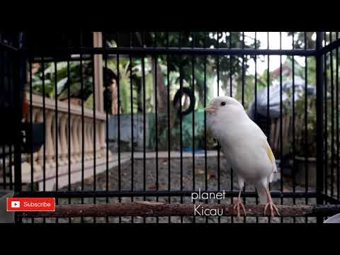 Listen to your canary to mimic its sound