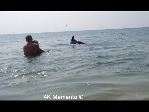 Wild friendly Dolphins swim up close to people on the beach