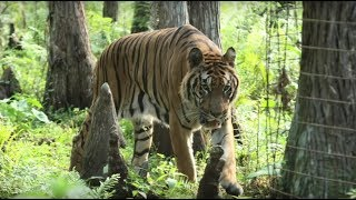 Rescued Circus Tiger Takes Cautious First Step Into His New Home..