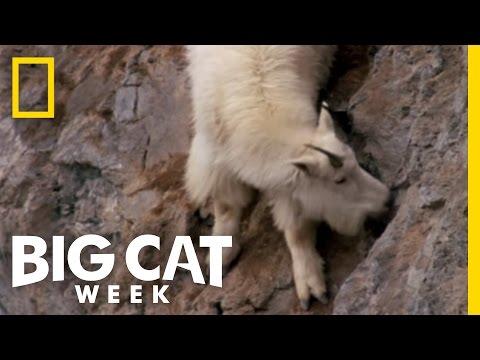 Death Dodging Goat | Big Cat Week