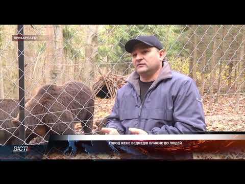 Голод жене карпатських ведмедів ближче до людських осель