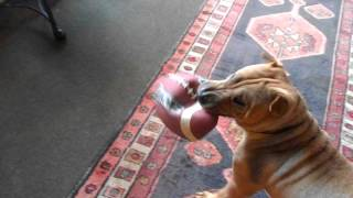 Our Shar Pei Hank Plays Football In Our Antique Shop