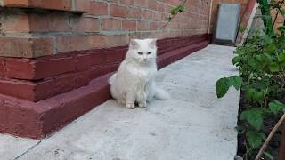 Adorable Turkish angora cat is walking near the house