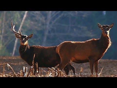 Вопрос: Почему самки северного оленя рогатые?
