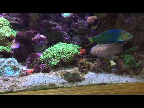 So Beautiful And So Terrible - Yellow Lunar Wrasse