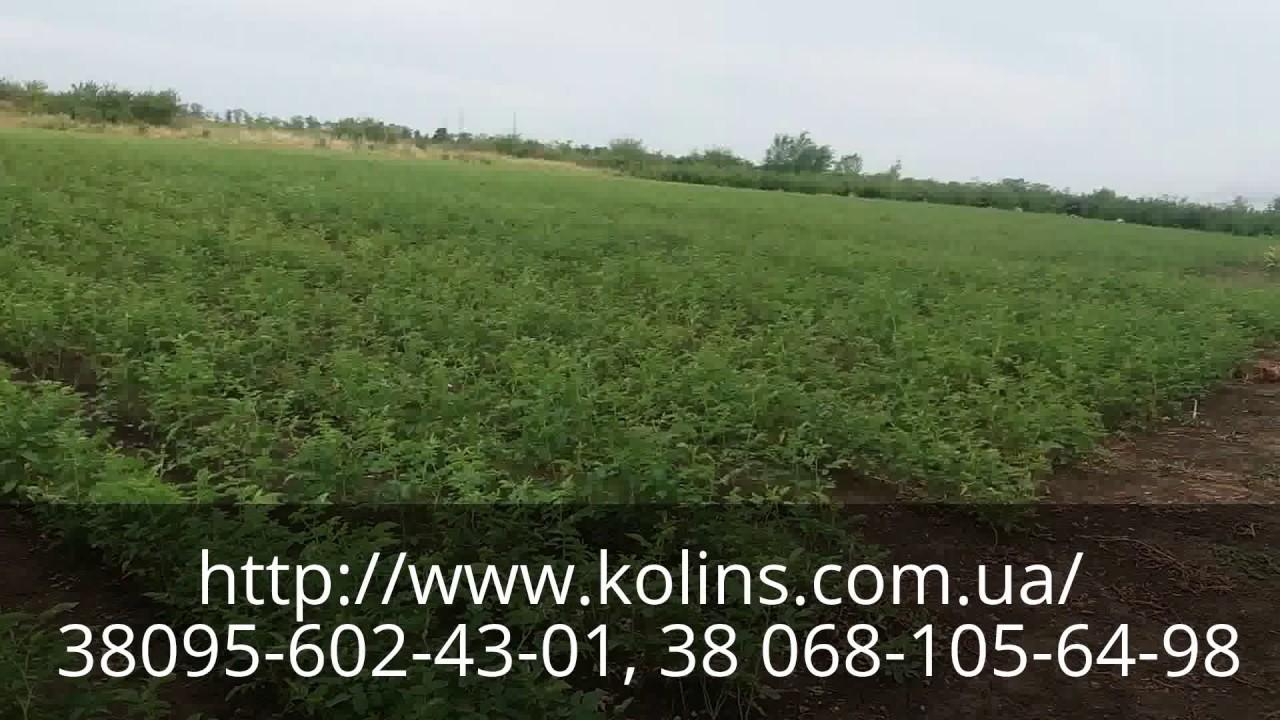 Саженцы роз в контейнерах для посадки летом 2013 - YouTube