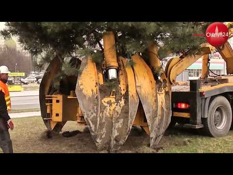 OLSZTYN24: Przesadzanie drzew w Olsztynie