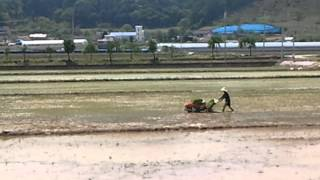 planting rice in South Korea