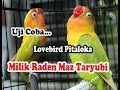 Duel Kekekan Lb Singel Fighter Pitaloka Milik Raden Mas Taryubi  Mp3 - Mp4 Download