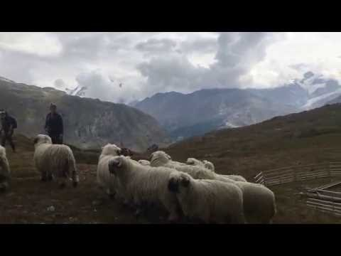 Blacknose Sheep Parade, Zermatt