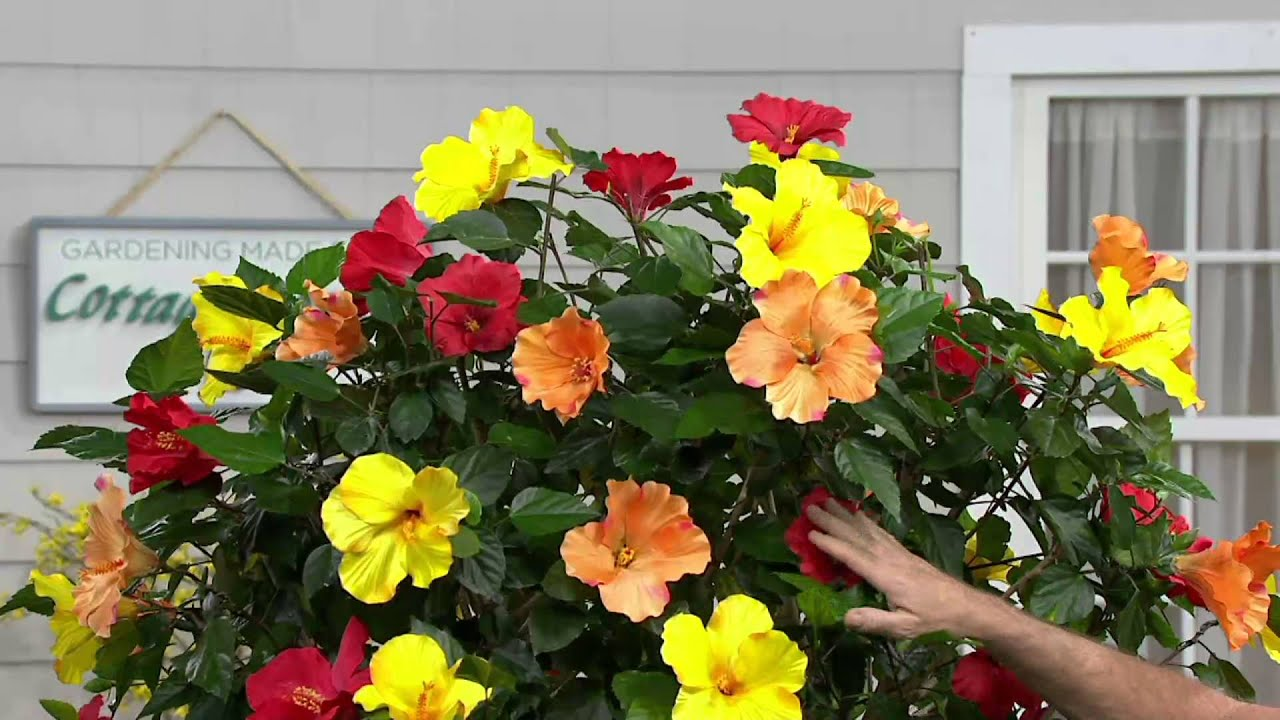 Cottage Farms 3 In 1 Braided Tropical Hibiscus Tree On Qvc Youtube
