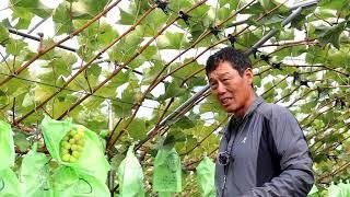샤인머스켓 재배농가를 방문하였습니다.  샤인머스켓 재배…