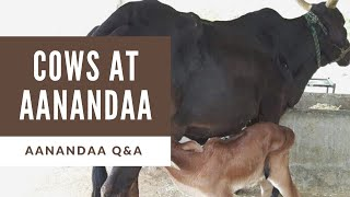Q&A | Are our cows desi/indigenous?