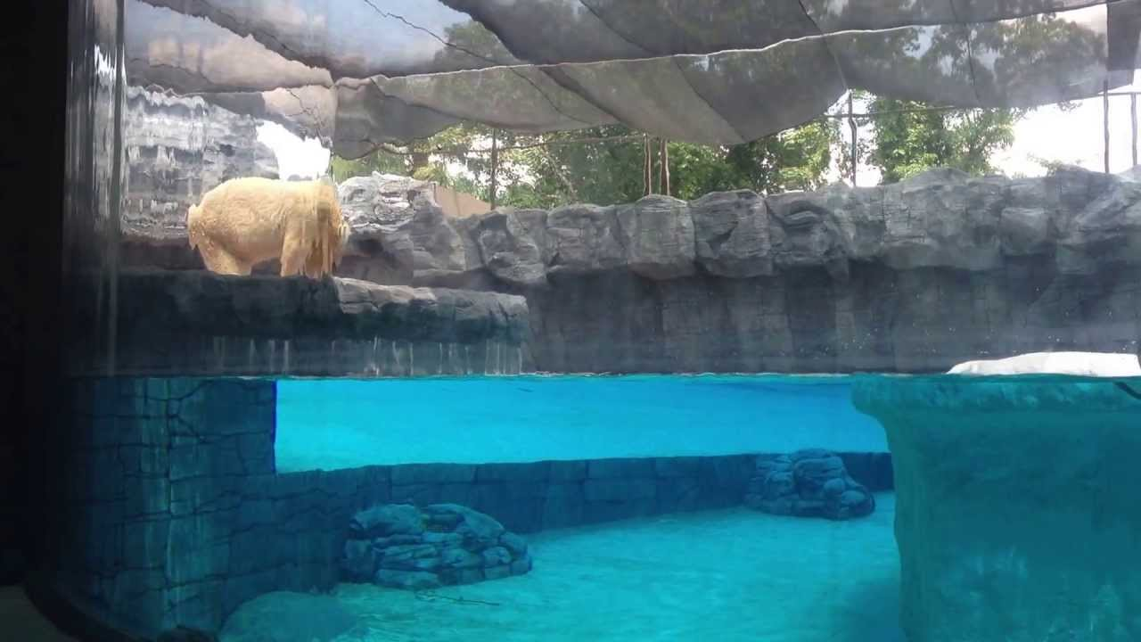 Polar Bear Token Feeding Session At Singapore Zoo 2013 - YouTube