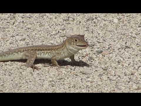 Fingered lizard - Acanthodactylus schreiberi - Ακανθοδάκτυλος - Αμμόσαυρα - Cyprus
