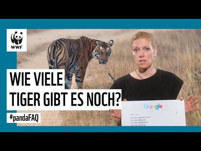 Sind Tiger bedroht? Warum werden Tiger gejagt? Google-Interview mit Tiger-Expertin | WWF Deutschland