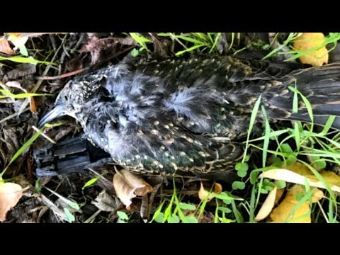 Dozens of birds fall dead from the sky in in mysterious 'mortality event' Mp3