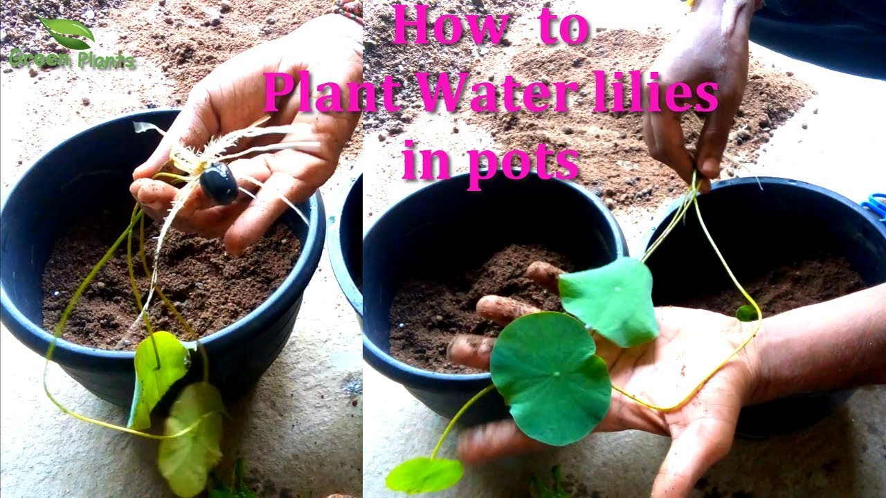 How To Grow Water Lily Lotus In Pots First Potting After 16 Days Soil Mix Tips Green Plants