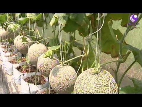 เกษตรทำเงิน : ปลูกเมลอน เกษตรเชิงท่องเที่ยว | สำนักข่าวไทย อสมท