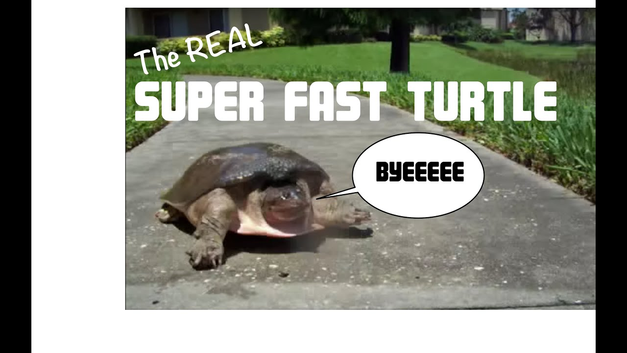maxresdefault super fast turtle youtube