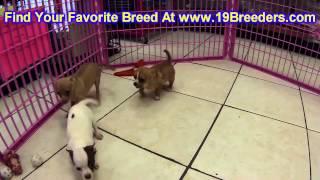 Chihuahua, Puppies, For, Sale, In,omaha ,nebraska, Ne,lincoln, Bellevue, Grand Island