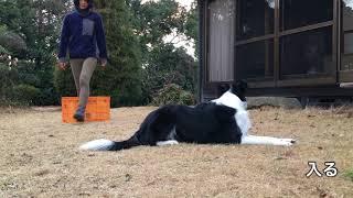 2018年1月9日撮影。 「Do as I Do」というトレーニング。 飼い主の行動...