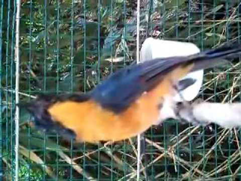 burung tledekan gunung hq
