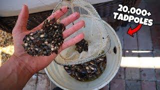removing-20-000-invasive-tadpoles-must-watch
