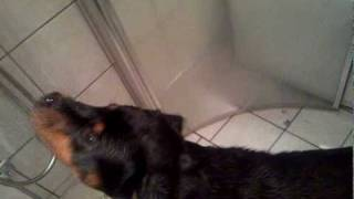 Rottweiler Bella Takes A Shower