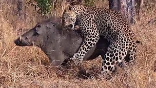 Leopard Attacks  Warthog - Moments Of Wild Animal Fights thumbnail