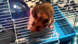 Как приручить хомячка