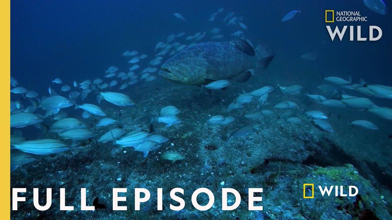 Download Shark Eating Goliath (Full Episode) | Monster Fish
